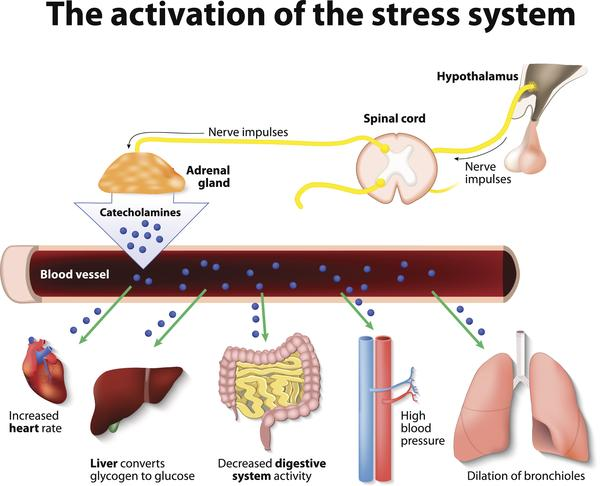 Activation of the stress system in the body